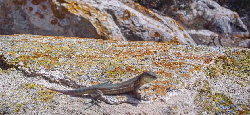 lagartos isla dragonera