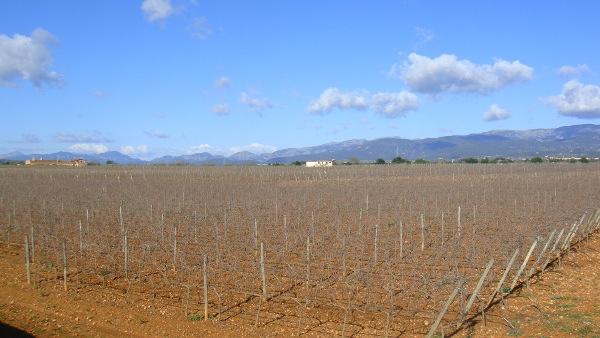 Post Thumbnail of Planes en invierno en Mallorca: ruta en bici por viñedos